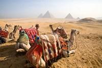 Egypt, Cairo, Camels, desert sands of Giza Pyramids Fine Art Print