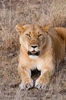 Female lion, Maasai Mara National Reserve, Kenya Fine Art Print