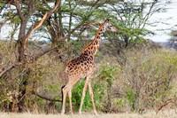 Giraffe, Maasai Mara National Reserve, Kenya Fine Art Print