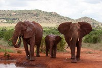 Elephants and baby, Tsavo East NP, Kenya. Fine Art Print