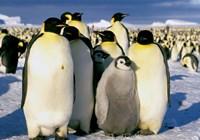 Emperor Penguins, Atka Bay, Weddell Sea, Antarctic Peninsula, Antarctica Fine Art Print