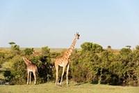 Giraffe, Giraffa camelopardalis, Maasai Mara, Kenya. Fine Art Print