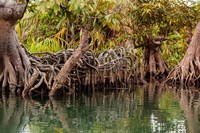 Africa, Liberia, Monrovia. View of mangroves on the Du River. Fine Art Print