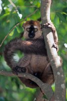 Brown Red-fronted Lemur, Primate, Madagascar Fine Art Print