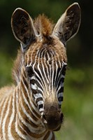 Baby Burchell's Zebra, Lake Nakuru National Park, Kenya Fine Art Print