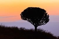 Candelabra Tree, sunrise, Ngorongoro Crater, Tanzania Fine Art Print