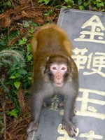 China, Zhangjiajie National Forest, Rhesus Macaque Fine Art Print