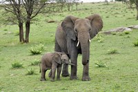 Female African Elephant with baby, Serengeti National Park, Tanzania Fine Art Print