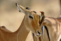 Female Impala with Red-billed Oxpecker, Samburu Game Reserve, Kenya Fine Art Print
