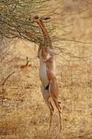 Gerenuk antelope, Samburu Game Reserve, Kenya Fine Art Print
