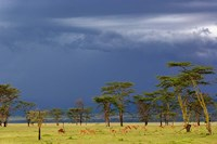 Herd of male Impala, Lake Nakuru, Lake Nakuru National Park, Kenya Fine Art Print