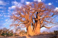 Baobab, Okavango Delta, Botswana Fine Art Print