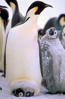 Emperor Penguins, Antarctic Peninsula, Antarctica Fine Art Print