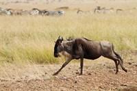 Blue Wildebeest on the run in Maasai Mara Wildlife Reserve, Kenya. Fine Art Print