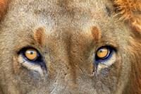 Close-up of Male Lion, Kruger National Park, South Africa. Fine Art Print