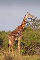 Giraffe, Giraffa camelopardalis, Maasai Mara wildlife Reserve, Kenya. Fine Art Print