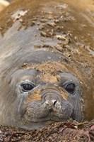 Antarctica, Aitcho Island, Southern elephant seals Fine Art Print