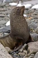 Antarctica, Cuverville Island, Antarctic fur seal Fine Art Print