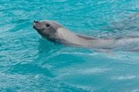 Antarctica, Pleneau Island, Crabeater seal Fine Art Print