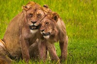African lions, Ngorongoro Conservation Area, Tanzania Fine Art Print