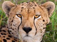Cheetah, Serengeti National Park, Tanzania Fine Art Print