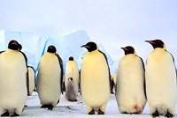 Emperor Penguins, Atka Bay, Weddell Sea, Antarctica Fine Art Print