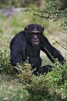Chimpanzee, Sweetwater Chimpanzee Sanctuary, Kenya Fine Art Print