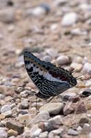 Zebra Butterfly, Gombe National Park, Tanzania Fine Art Print