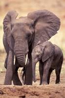 African Elephants, Tarangire National Park, Tanzania Fine Art Print