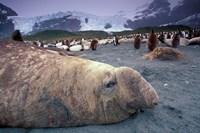Elephant Seal and King Penguins, South Georgia Island, Antarctica Fine Art Print