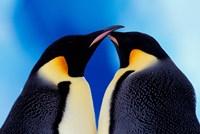 Emperor Penguin Pair, Antarctica Fine Art Print