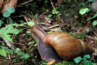 Giant African Land Snail, Gombe National Park, Tanzania Fine Art Print