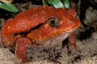 Africa, Madagascar. Tomato frog (Dyscophus antongili) Fine Art Print