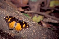 Resting Butterfly, Gombe National Park, Tanzania Fine Art Print