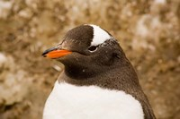 Fledgling Gentoo Penguin, Antarctica Fine Art Print