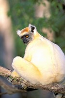 Africa, Madagascar, Daraina. Golden-crowned Sifaka Fine Art Print