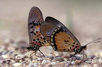 A pair of Butterflies, Gombe National Park, Tanzania Fine Art Print