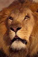 Closeup of a Male Lion, South Africa Fine Art Print