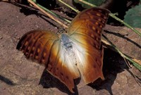 Detail of Butterfly Wings, Gombe National Park, Tanzania Fine Art Print