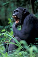 Female Chimpanzee Yawning, Gombe National Park, Tanzania Fine Art Print