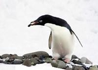 An Adelie Penguin (Pygoscelis Adeliae) at Paulet Island, Antarctica Fine Art Print