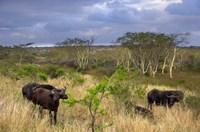 Cape Buffalo, Zulu Nyala Game Reserve, Hluhluwe, Kwazulu Natal, South Africa Fine Art Print