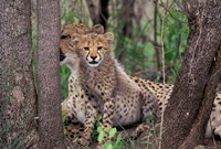 Cheetah Cubs, Phinda Preserve, South Africa Fine Art Print