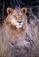 African Lion, Botswana Fine Art Print