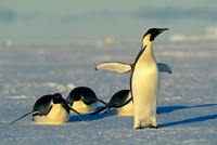 Emperor Penguins, Antarctica, Atka Bay, Weddell Sea Fine Art Print