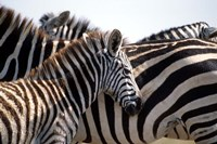 Black and White Stripe Pattern of a Plains Zebra Colt, Kenya Fine Art Print