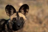 Botswana, Chobe NP, African Wild Dog, Savuti Marsh Fine Art Print