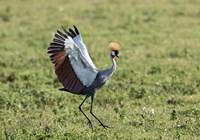 Africa, Tanzania, Ngorongoro Crater. Grey Crowned Crane dancing. Fine Art Print