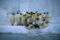 Emperor Penguins, Cape Roget, Ross Sea, Antarctica Fine Art Print