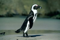 African Penguin, Cape Peninsula, South Africa Fine Art Print